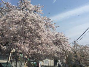 コミュニティーセンター前の桜