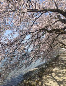 湖岸道路の桜
