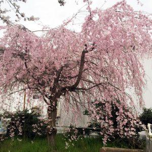 漁業協同組合横の桜